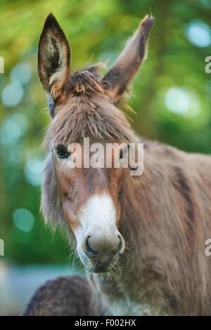 Inländische Esel (Equus Asinus Asinus), Portrait einer Stute, Deutschland - Stockfoto