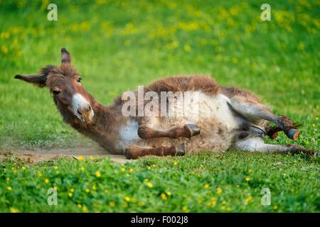 Inländische Esel (Equus Asinus Asinus), Rollen auf einer Wiese, Deutschland - Stockfoto