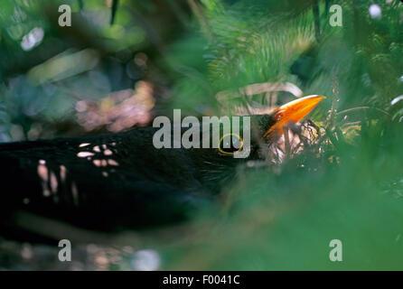 Amsel (Turdus Merula), Zucht, Männlich, Deutschland - Stockfoto