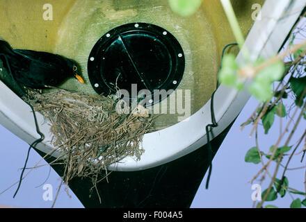 Amsel (Turdus Merula), Amsel nest in eine Kanou, Deutschland - Stockfoto