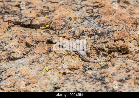 Elegante Earless Lizard (vgl. Holbrookia Elegans), gut getarnt auf Felsen, USA, Arizona