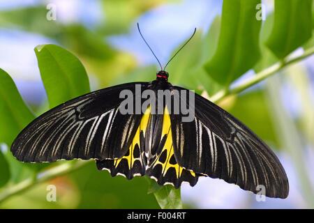 Tropischer Schmetterling (Troides Helena), auf einem Zweig - Stockfoto