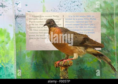 Wandertaube (Ectopistes Migratoria), präparierten Taube in der Information center, Art ist ausgestorben weltweit, - Stockfoto