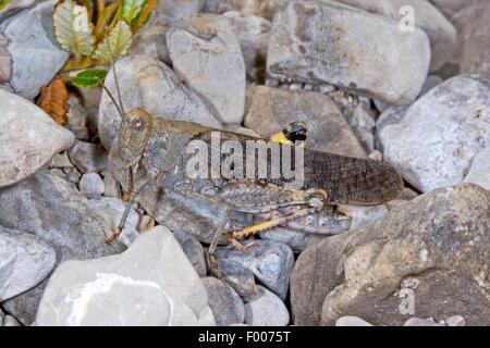 Gesprenkelte Grashüpfer, Europäische Rose geflügelte Heuschrecke (Bryodema Tuberculata, Bryodemella Tuberculata), - Stockfoto