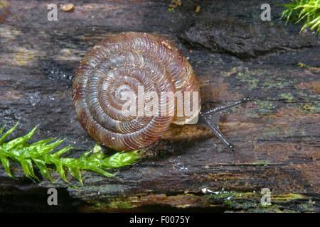 Abgerundete Schnecke, rundliche Scheibe Schnecke, Radiated Schnecke (Discus Rotundatus, Goniodiscus Rotundatus), Crepping auf Holz