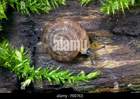 Abgerundete Schnecke, rundliche Scheibe Schnecke, Radiated Schnecke (Discus Rotundatus, Goniodiscus Rotundatus), - Stockfoto