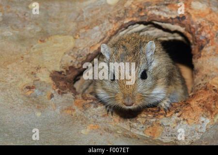 Mongolische Rennmaus, Krallen gehalten (Meriones Unguiculatus), spähte aus seinen verstecken - Stockfoto