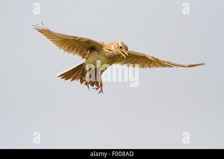 Eurasische Himmel Lerche (Alauda Arvensis), singen in den Himmel, Deutschland - Stockfoto