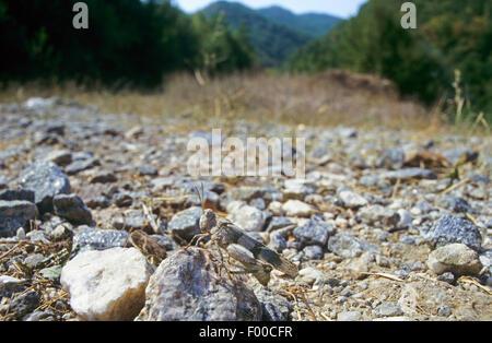 Blau-geflügelte Heuschrecke (Oedipoda Coerulescens, Oedipoda Caerulescens), Weiblich, gut getarnt auf steinigem - Stockfoto