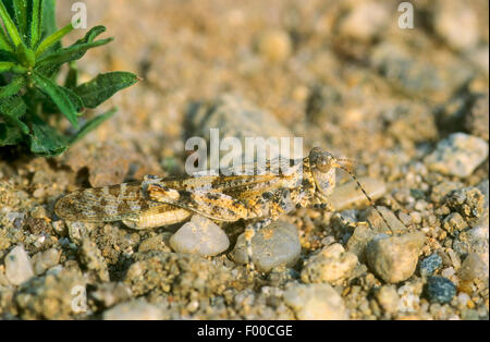 Blau-geflügelte Heuschrecke (Oedipoda Coerulescens, Oedipoda Caerulescens), Männlich, gut getarnt auf steinigem - Stockfoto