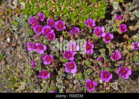 Steinbrech, lila Steinbrech, Twinflowered Steinbrech (Saxifraga Oppositifolia), blühen, Deutschland - Stockfoto