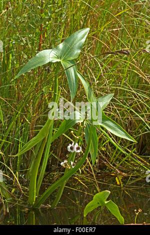 Pfeilspitze (Sagittaria Sagittifolia), blühen, Deutschland - Stockfoto