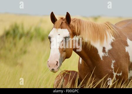 Pinto Quarterhorse Stute füttern ihre Fohlen in einer Pferdefarm in Panama - Stockfoto