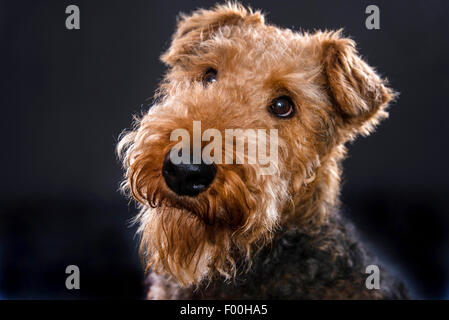 Airedale Terrier (Canis Lupus F. Familiaris), portrait - Stockfoto