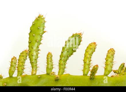 Nahaufnahme Bild des Haupttriebs ein Kaktus und seine Äste wie ein Tal der Sträucher abgebildet. - Stockfoto