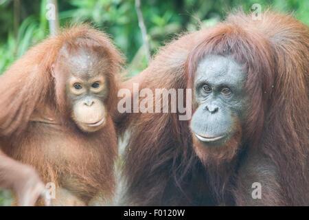 Nahaufnahme von Mutter und Kind Orang-Utans. - Stockfoto