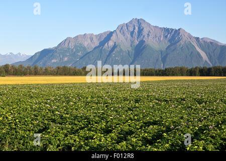 Blühende Kartoffelfeld, reifen Weizen, Pioneer Peak in der Ferne... - Stockfoto
