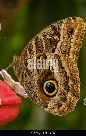 Caligo Illioneus, Illioneus Riesen Eule Schmetterling, Aguas Calientes, Peru - Stockfoto