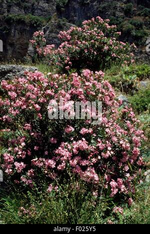 Oleander (Nerium Oleander), Raganello Schlucht, Nationalpark Pollino, Kalabrien, Italien. - Stockfoto