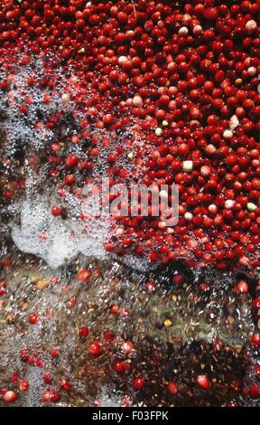 Cranberry Ernte, Preiselbeeren werden extrahiert und getrennt von der Wasser, Carver, Massachusetts, Vereinigte - Stockfoto