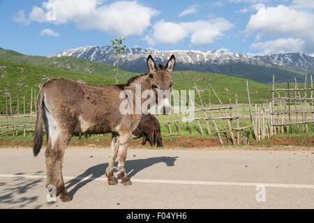 Esel (Equus Africanus Asinus) mit Vorderbeinen gefesselt, Bergen am Prespasee, nördlichen Albanien, Albanien - Stockfoto
