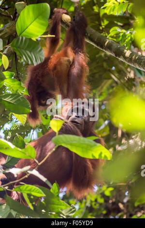 Wilde Bornean Orang-Utans (Pongo Pygmaeus Morio) während der Entwöhnung Prozess im natürlichen Lebensraum. © Reynold - Stockfoto