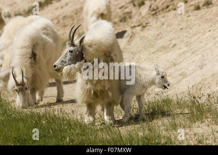 Bergziege-Herde auf einen Leckstein auf Mount Norquay Straße außerhalb von Banff in Banff Nationalpark, Alberta, - Stockfoto
