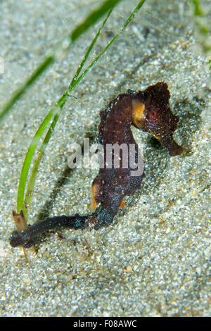 Kurz-snouted Seepferdchen, Hippocampus Hippocampus, Ponza, Italien - Stockfoto