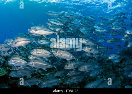 Schulzeit Bigeye Trevally, Caranx Sexfasciatus, Maria Island, Salomonen - Stockfoto