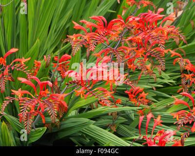 Crocosmia Lucifer in voller Blüte wächst in einer Grenze in Cheshire, England. - Stockfoto