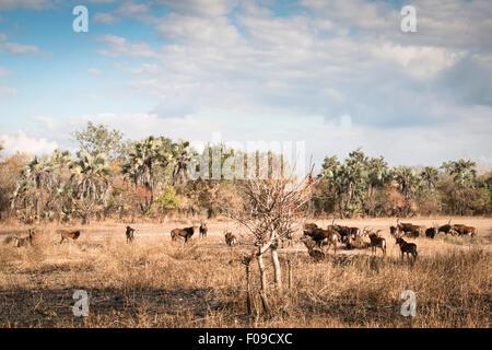 Große Gruppe der Wasserbock in der Savanne des Gorongosa National Park - Stockfoto