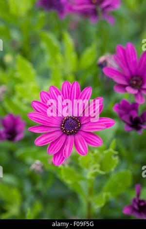 Osteospermum 'Sonnigen Mary' Blumen. - Stockfoto