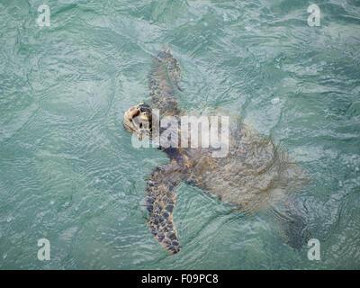 Eine wilde Hawaiianische Grüne Meeresschildkröte (Chelonia Mydas) kommt zur Luft in Kailua in Kailua-Kona, Big Island, - Stockfoto