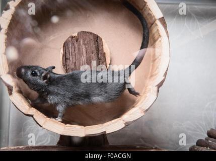 Wüstenrennmaus auf Holzrad - Stockfoto