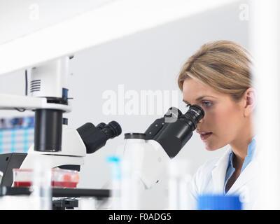 Wissenschaftler betrachten Stammzellkulturen in Wachstumsmedium unter einem inversen Mikroskop im Labor wachsen - Stockfoto