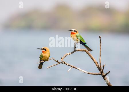 Afrikanische Vögel beobachten: zwei White-fronted Bienenfresser, Merops Bullockoides, hocken auf einem Toten Ast - Stockfoto