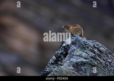 Alpen-Murmeltier (Marmota Marmota) sitzt auf einem Felsen, Nationalpark Hohe Tauern, Österreich, Juli 2008 - Stockfoto