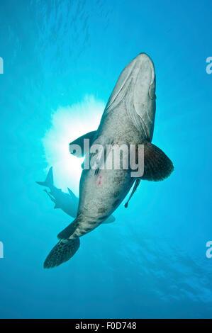 Eine große Kartoffel-Kabeljau mit Remora im Schlepptau und eine ozeanische Schwarzspitzen Haie im Hintergrund gegen - Stockfoto