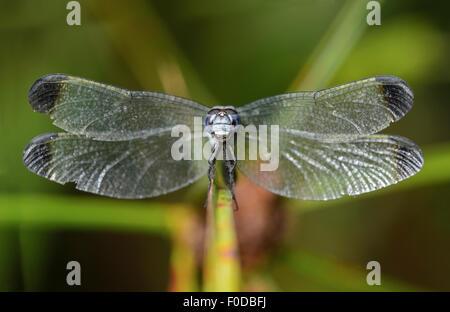 Neotropische Libelle (Uracis Fastigiata) männlich, Skimmer (Libellulidae), Amazonas-Regenwald, Yasuni-Nationalpark - Stockfoto