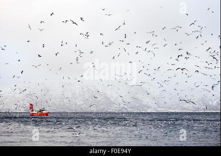 Angelboot/Fischerboot umgeben von Möwen auf und über das Meer, Lofoten, Norwegen, November 2008 - Stockfoto