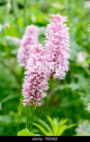 Persicaria Bistorta 'Superba', auch bekannt als rote cm 'Superba' oder Polygonum Bistorta 'Superbum' - Stockfoto