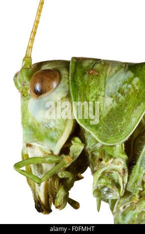 Extreme Makro-Shooting von Bush Grasshopper Kopf - Stockfoto
