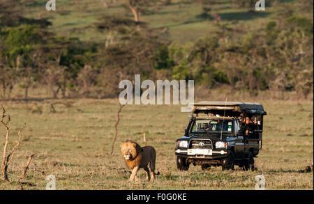 Erwachsenen männlichen Löwen Wandern mit touristischen Auto im Hintergrund Mara Naboisho Conservancy Kenia Afrika - Stockfoto