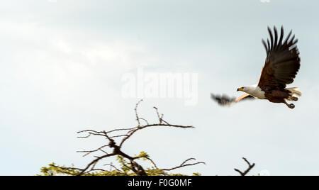 Afrikanischer Fischadler im Flug Mara Naboisho Conservancy Kenia Afrika - Stockfoto