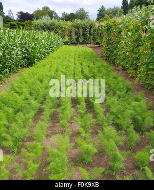 """Reihen von Karotten wachsen neben Runner Bean """"Tenderstar"""" mit ihren weißen und orangefarbenen Blüten, fotografiert - Stockfoto"""