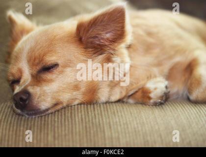 Niedliche Chihuahua Welpen auf der Couch schlafen. - Stockfoto