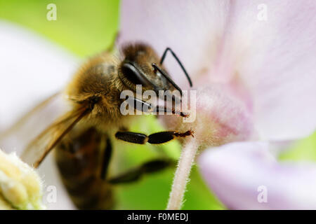 Biene bestäubende Blüte - Stockfoto