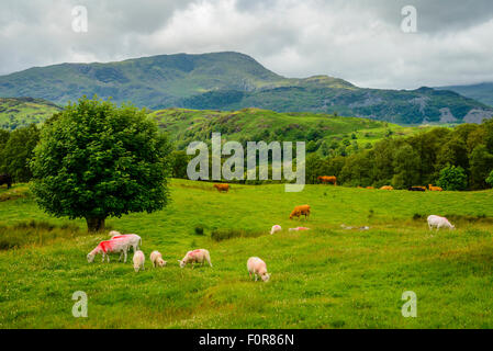 Grasende Schafe und Kühe in den Lake District mit Wetherlam am Horizont - Stockfoto