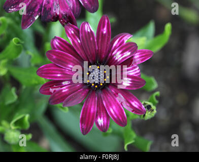 Osteospermum 'Sonnigen Mary' Nahaufnahme Blume - Stockfoto