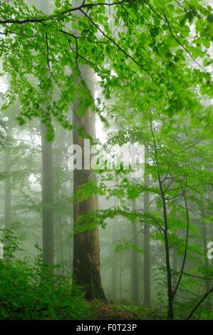 Unberührten Buchenholz (Fagus Sylvatica) und Tanne (Abies sp) Wälder, Stramba Tal, Fagaras-Gebirge, südlichen Karpaten, - Stockfoto